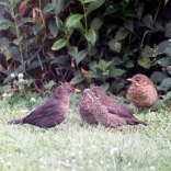 Female blackbird with young