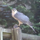 Male sparrowhawk with Goldfinch