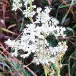 Meadow Sweet, The Ridings, 17/8/20, 0750