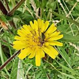 Thick-legged flower beetle (oedemera nobilis), The Ridings, 05.08.20, 10.35