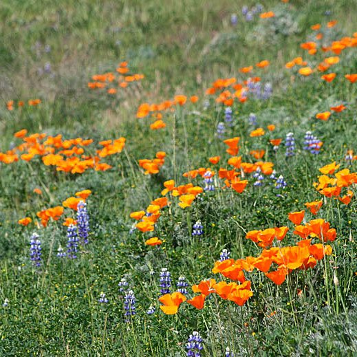California Super Bloom mount diablo wildflowers