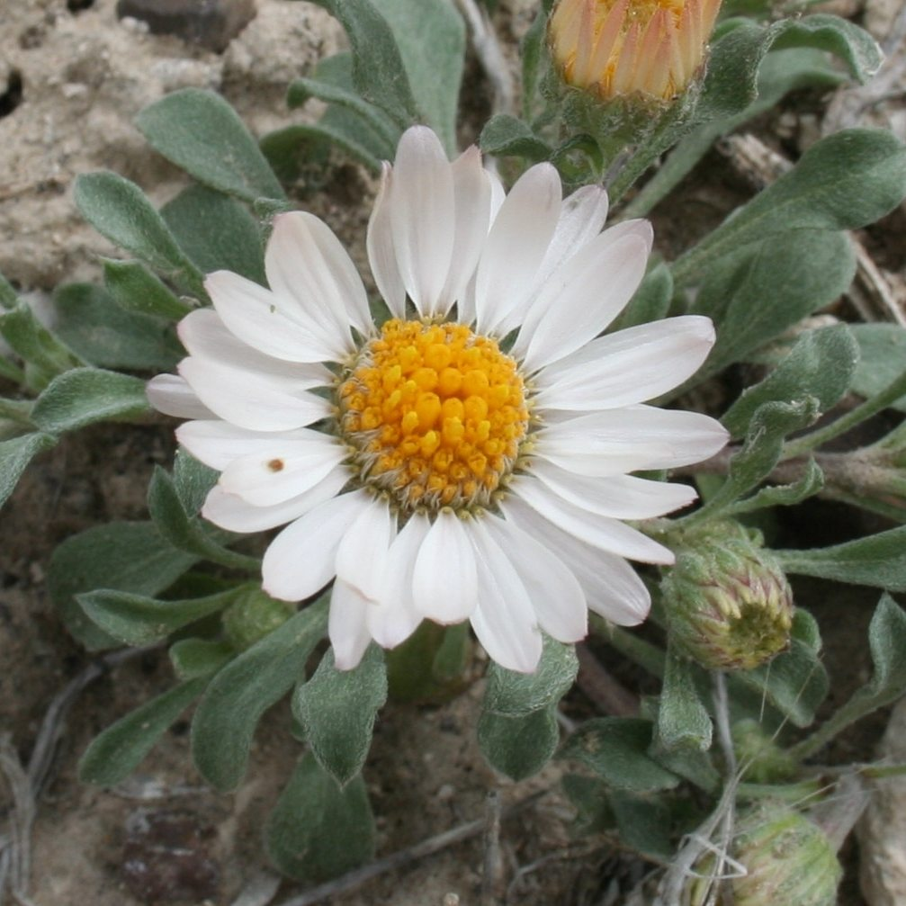 California super bloom, Townsend daisy