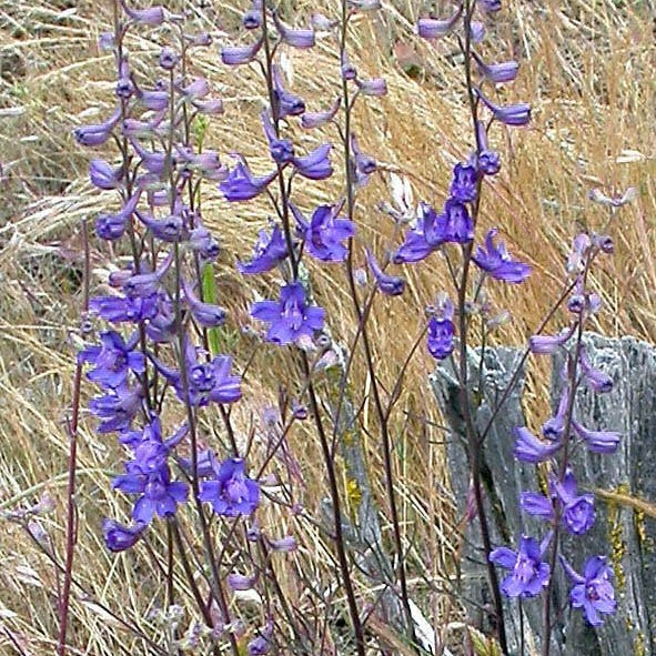 California super bloom Parry's Larkspur