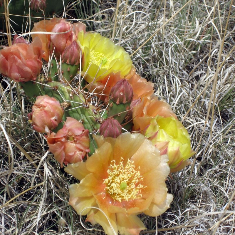 California super bloom, blooming cacti