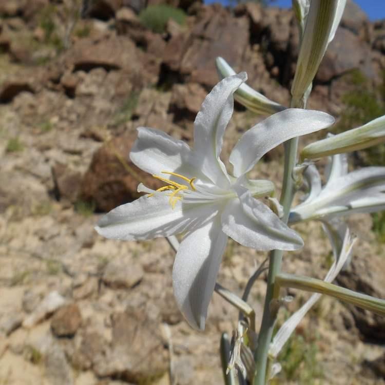Desert lily, anza borrego