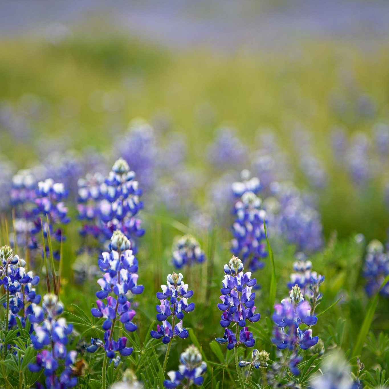 California super bloom, Lupines