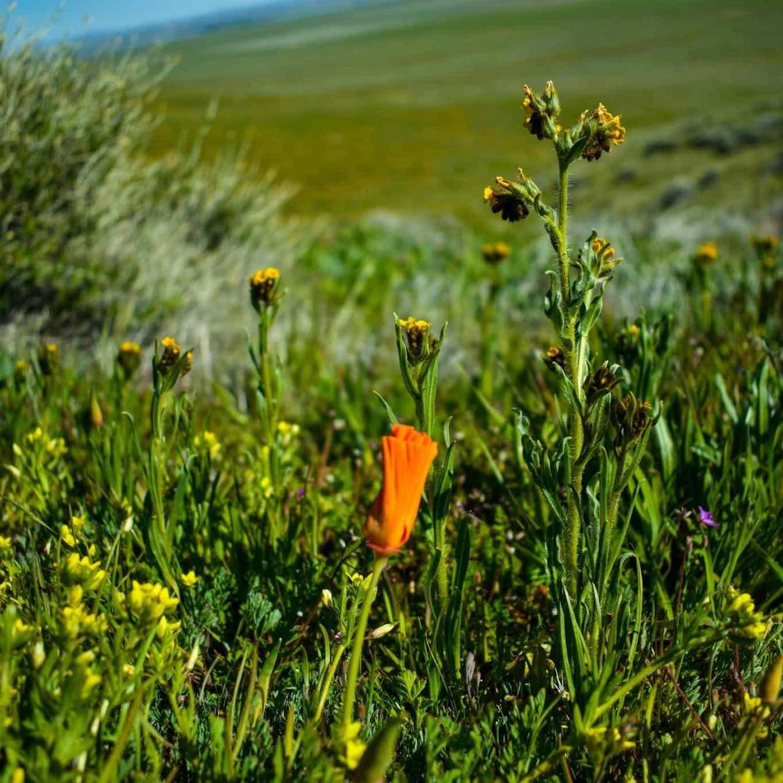 California super bloom, wildflowers opening