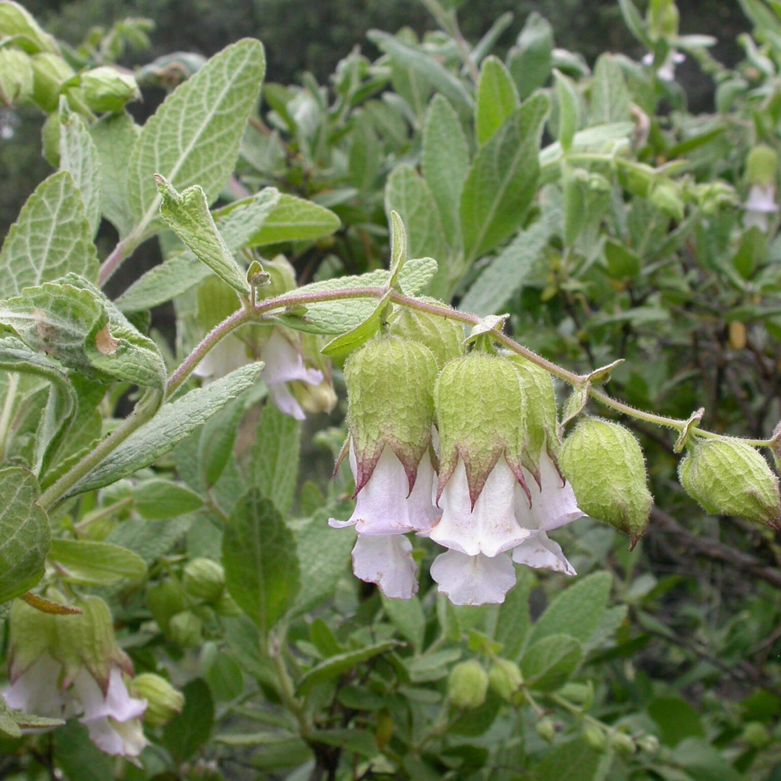 White pitcher sage, Pinnacles National Park