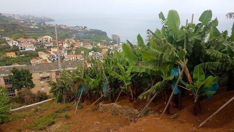 Une des nombreuses bananeraies (?) de l'île
