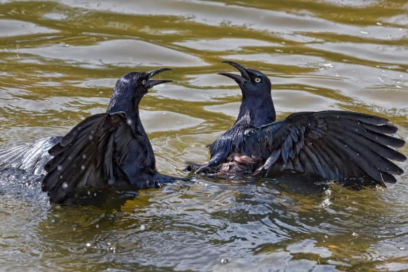 Fighting Grackles