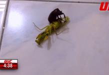 UIC bate UFC? Intră să vezi luptele din Ultimate Insect Championships, locul unde diferite insecte se bat în octogon! (VIDEO)