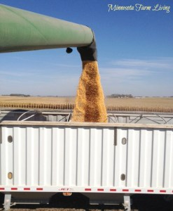 Minnesota Corn Harvest with GMO corn