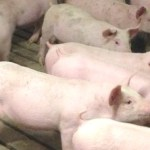 Why We Use Individual Gestation Stalls For Our Sows
