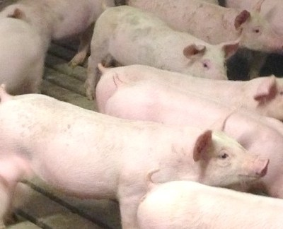 Why Do Pig Farmers Use Gestation Crates?