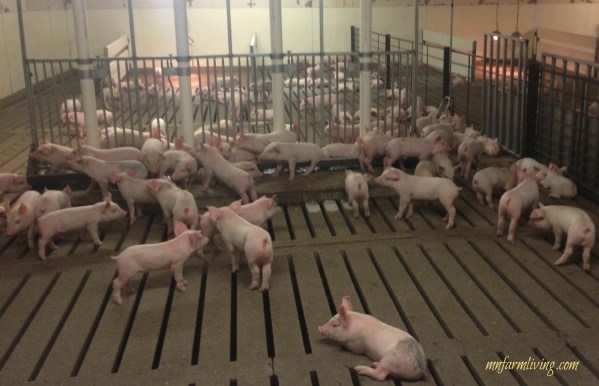 Can Pig Farmers Be Good Environmental Stewards?