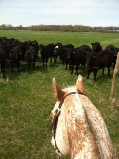 Minnesota Agriculture - Rachel Gray and Cattle
