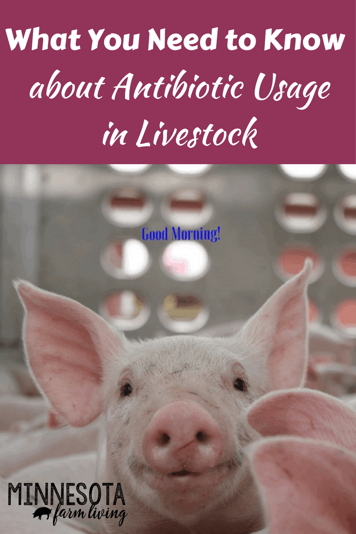 As a farmer, when our livestock become sick, we need to do the right thing and treat them with an antibiotic. We use antibiotics as a last resort. Read on to find out other factors on how antibiotics are used.