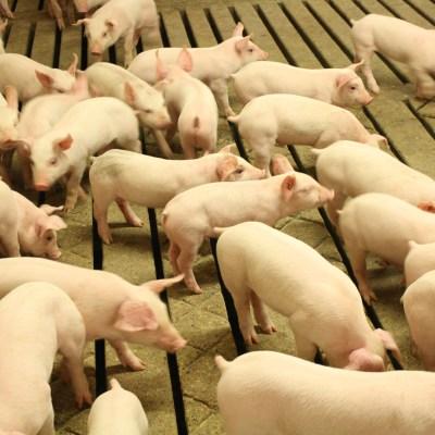 Pig Stories Untold