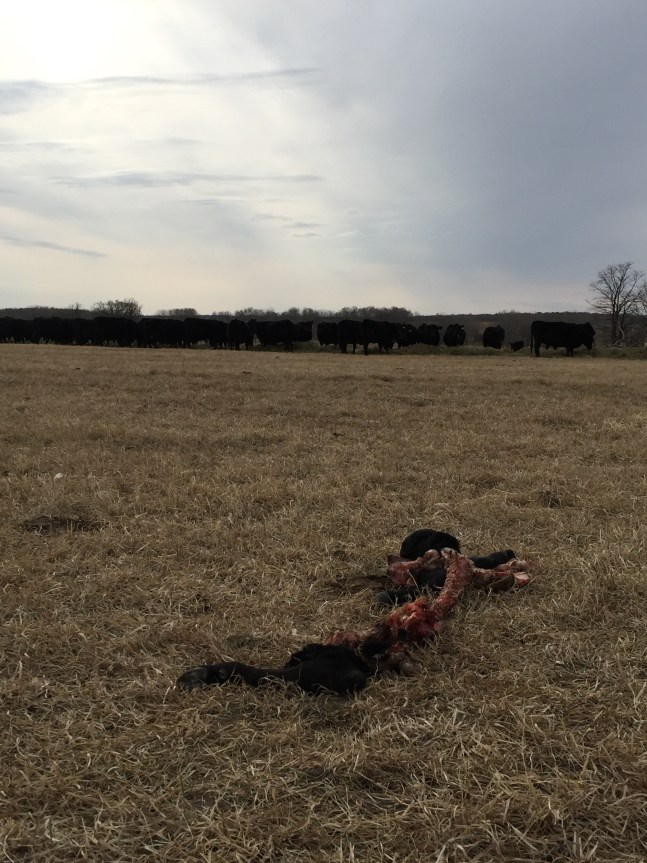 cow remains after wolf attack