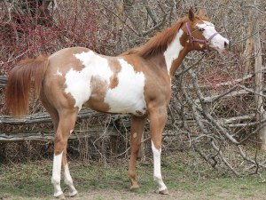 Obsessive Emotion . APHA filly , 5 Panels test NN. Hotwheels In Motion and Obsess To Impress breeding.