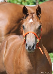 """""""Ken"""" is a AQHA colt for sale. He is tested NN for the 5 panel test. Sire is Mr Cool Secret , out of a daughter of JMK Malibu Ken (out of Cooleah)."""