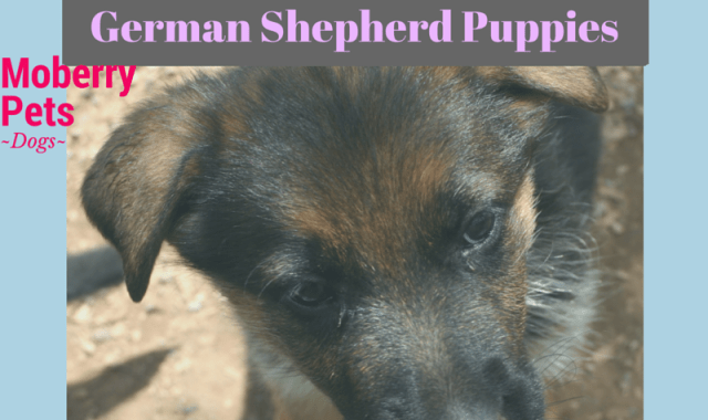 The Best Shampoo for German Shepherd Puppies