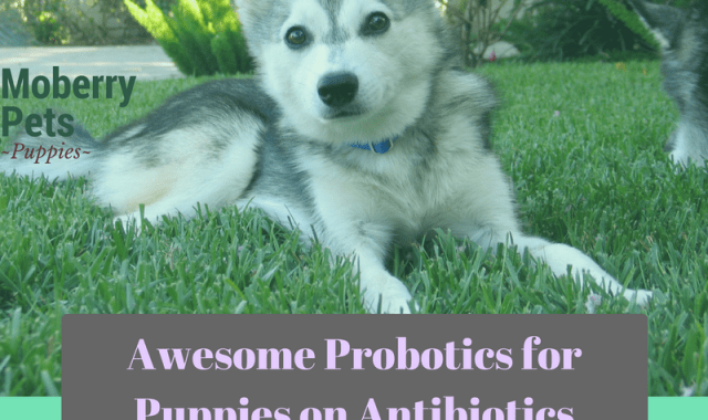 Probiotics for Puppies on Antibiotics