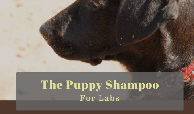 Best Puppy Shampoo for Labs