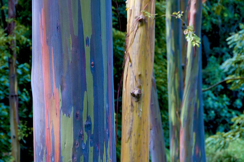 rainbow eucalyptus pohon penuh warna 4