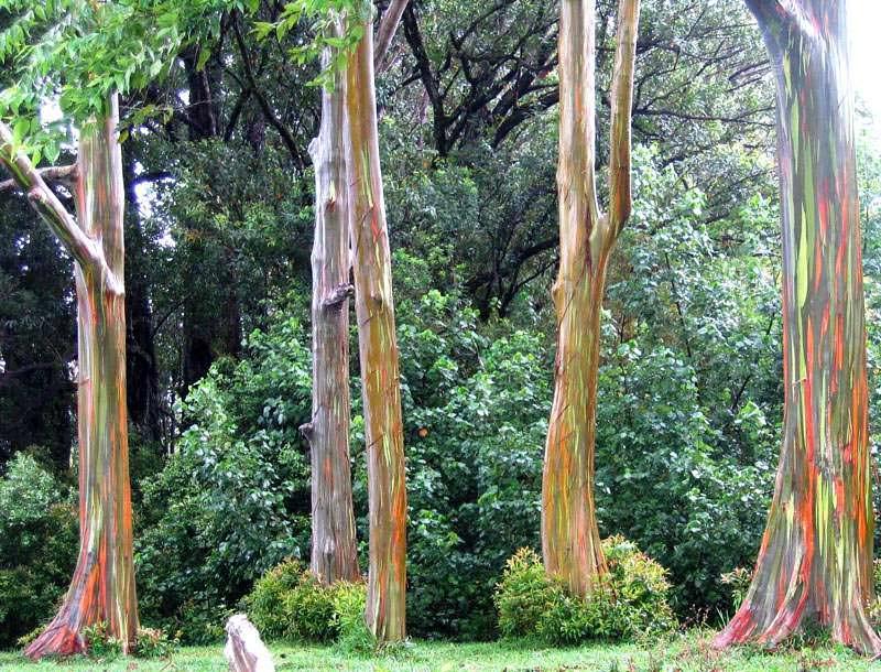 rainbow eucalyptus pohon penuh warna 3