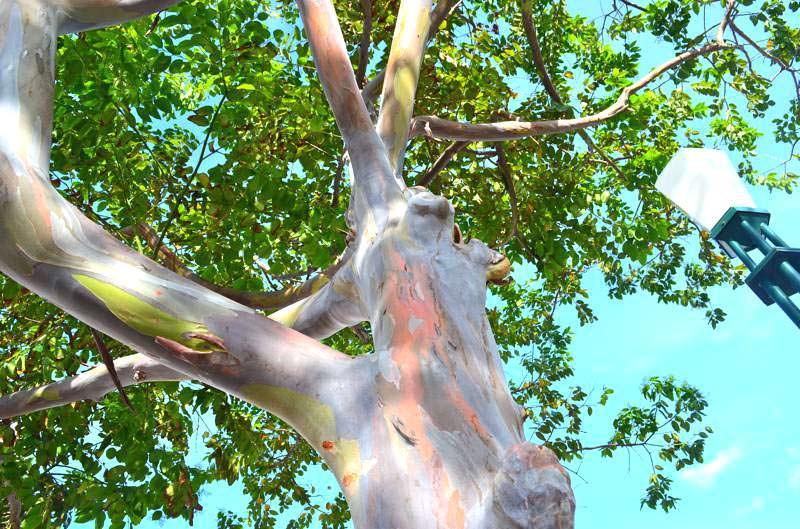 rainbow eucalyptus pohon penuh warna 5