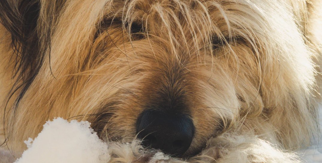 Dog with long hair sleeping on carpet