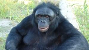bonobo11 bonobo1