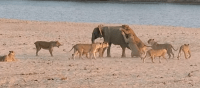 young-elephant-lions-zambia