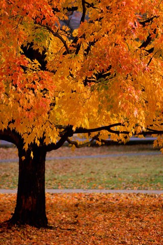 Wallpaper Fall Weather Download Orange Autumn Trees Iphone Wallpaper Mobile