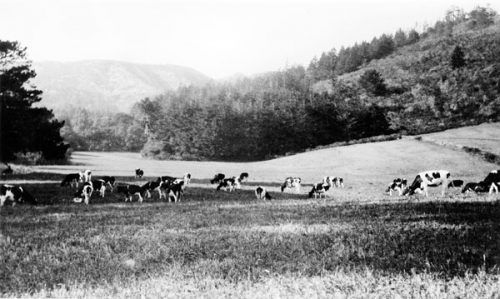 Cows grazing on the north coast near Ano Nuevo area, which was in Santa Cruz County until 1868 when it became part of San Mateo County. Photo: Santa Cruz Public Libraries, California