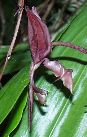 Mbg Orchid Collection Gongoreae Laeliinae