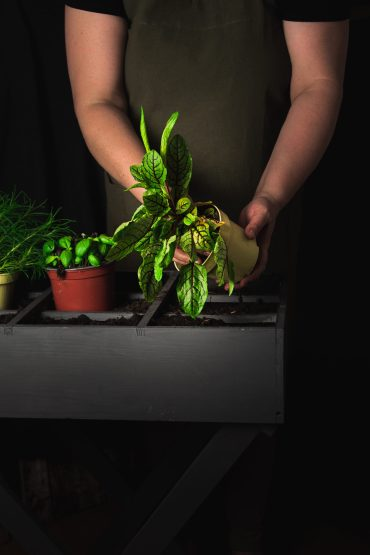 Sauerampfer wird in ein Pflanzbeet gesetzt