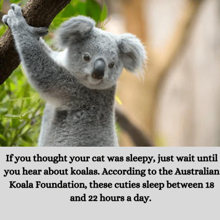 If you thought your cat was sleepy, just wait until you hear about koalas. According to the Aust ...