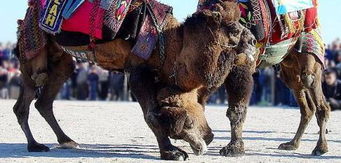most unusual festivals, camel wrestling, Turkey