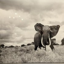 """**ITEM NOW SOLD** Framed Daniel O'Neill photograph of African elephant (mat and frame cropped out to reduce reflection). 34.5""""w x 28.5""""h. 350.-"""