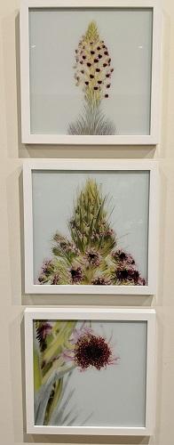 "Set/3 Chris Johns digital images printed on glass. 'Ahinahina Blooms', custom framed. 12"" sq. each. Original List: $960. plus 200. framing. Modele's Price: 495. set"