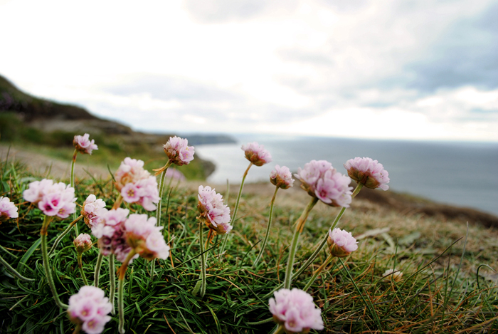 More wildflowers at the cliffs of Moher