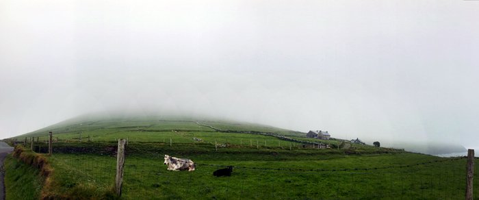 Famous Kerry cows at Slea Head Drive