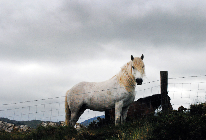 Horse along the Wild Atlantic Way on the way to Ring of Kerry