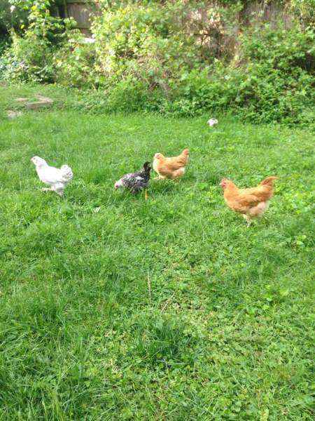 Chickens-by-Tabitha-Grace-Challis