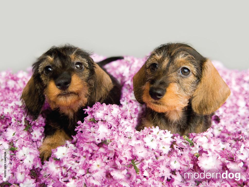 The X Files Wallpaper Iphone Puppies Free Modern Dog Wallpaper Modern Dog Magazine