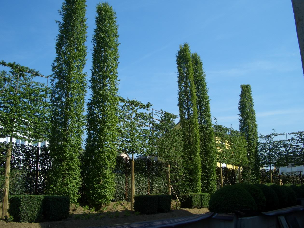 Bambus Sichtschutz Hecke | Moregs Bambus Als Sichtschutz