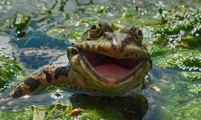awfrog