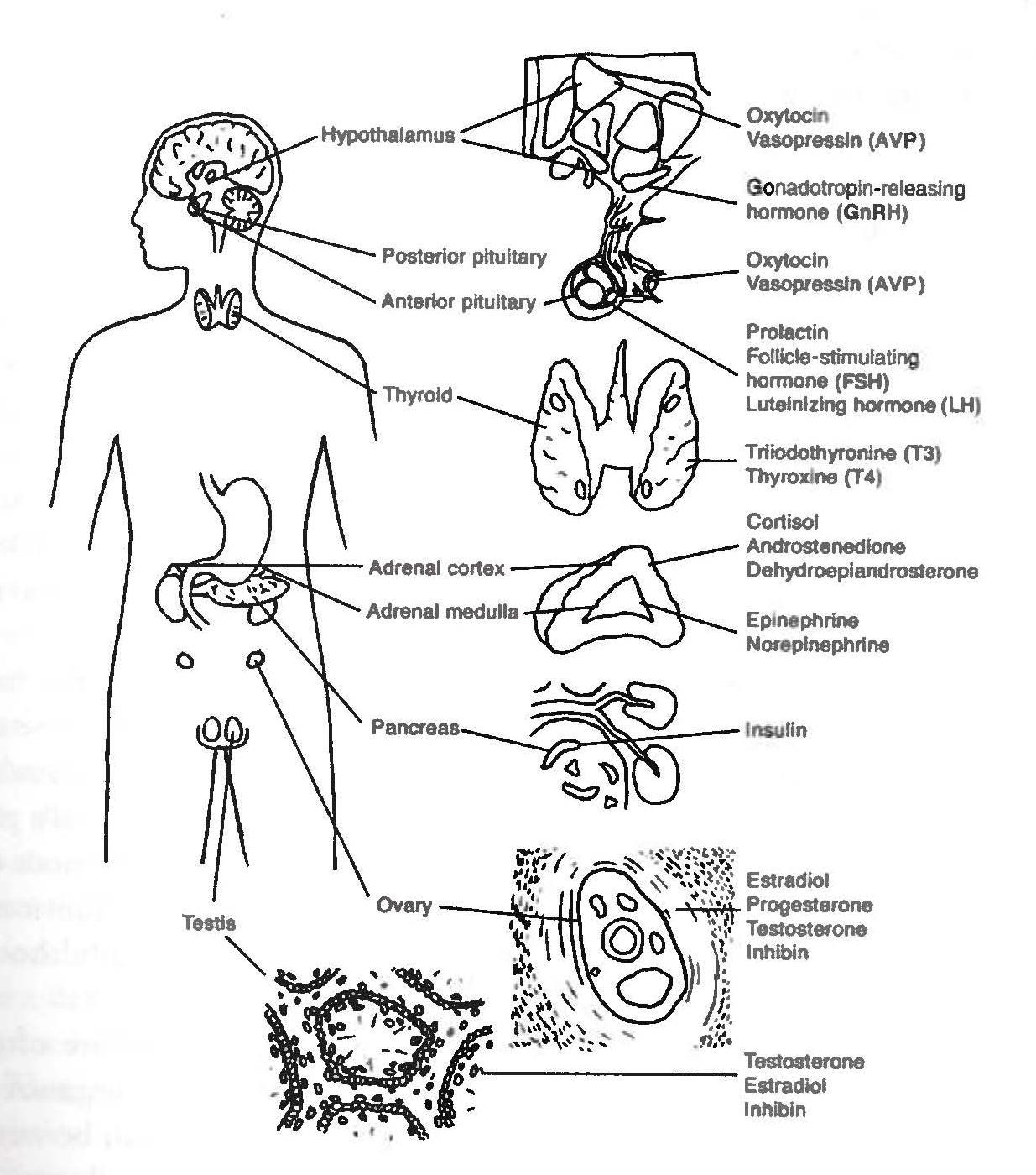 nervous system fill in the blank diagram 97 s10 wiring endocrine unlabeled modernheal
